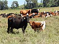 Starr-141229-3289-Paspalum urvillei-habit in pasture with cows-Hoku Nui Piiholo-Maui (25157179031).jpg