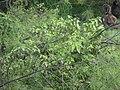 Starr-170615-9163-Solanum americanum-habit in ironwood-Town Sand Island-Midway Atoll (36316327146).jpg