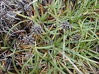 Starr 010212-0381 Fimbristylis cymosa