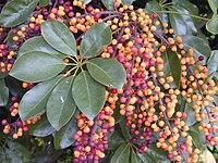 Starr 020108-0009 Schefflera arboricola