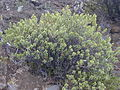 Starr 030419-0082 Dubautia menziesii.jpg