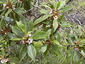 Starr 030628-0045 Myoporum sandwicense.jpg