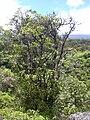 Starr 030729-0080 Psychotria mariniana.jpg