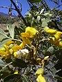 Starr 040723-0422 Sophora chrysophylla.jpg
