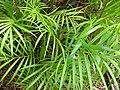 Starr 050107-2884 Chrysalidocarpus lutescens.jpg