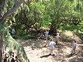 Starr 050128-3286 Casuarina equisetifolia.jpg