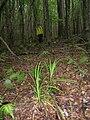 Starr 051016-4866 Carex sp..jpg