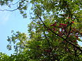Starr 060306-6602 Syzygium malaccense.jpg