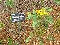 Starr 060329-6819 Bidens micrantha subsp. micrantha.jpg