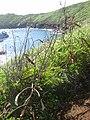Starr 060405-9076 Leucaena leucocephala.jpg