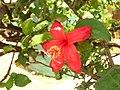 Starr 060922-9177 Hibiscus kokio subsp. kokio.jpg