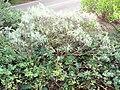 Starr 070208-4341 Artemisia australis.jpg