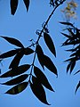 Starr 070604-7251 Syzygium jambos.jpg