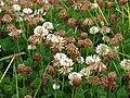 Starr 070621-7491 Trifolium repens.jpg