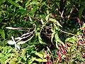 Starr 080219-2950 Jasminum polyanthum.jpg