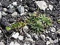 Starr 080602-5392 Oenothera laciniata.jpg