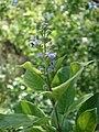 Starr 080602-5544 Vitex trifolia.jpg