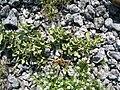 Starr 080603-9108 Solanum nelsonii.jpg