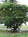 Starr 080608-7570 Schefflera actinophylla.jpg