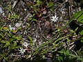 Stellaria graminea (7814668112).jpg