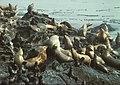 Steller Sea Lions.jpg