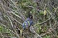 Stellers Jay (Cyanocitta Stelleri) (9357680049).jpg