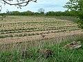 Strawberry fields. - geograph.org.uk - 162173.jpg