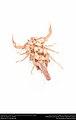 Striped Bark Scorpion (Buthidae, Centruroides vittatus (Say)) (36906270885).jpg