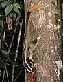 Striped Possum JCB.jpg