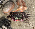 Striped shore crab, Pachygrapsus crassipes.jpg