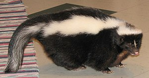Skunk - A domesticated skunk