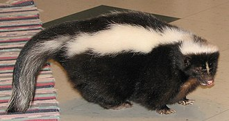 Skunk - A tamed striped skunk