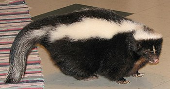 Pet skunk in kitchen