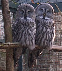 Strix nebulosa couple