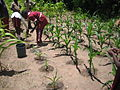 Students applying diluted urine to the maize plants (5567569675).jpg