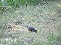 Sturnus vulgaris, Nis, Serbia 15.jpg