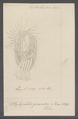 Styloplotes grandis - - Print - Iconographia Zoologica - Special Collections University of Amsterdam - UBAINV0274 113 17 0010.tif