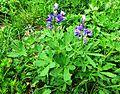 Subalpine Lupine flowering. - Flickr - brewbooks.jpg