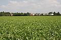Sugar beet crop at Cockfield - geograph.org.uk - 1456029.jpg