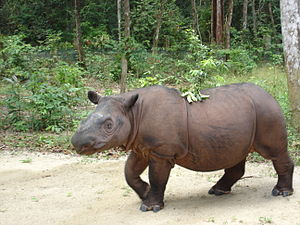 Sumatran rhinoceros - Sumatran rhinoceros at Sumatran Rhino Sanctuary in Lampung, Indonesia