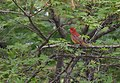 Summer Tanager (33462687154).jpg