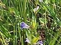 Sumpf-Helmkrau (Scutellaria galericulatat)@20180604 10.jpg