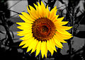 Sun (3045544065).jpg