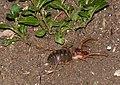 Sun Spider (Solifugae)(Id?) (13697189905).jpg