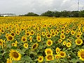 Sunflower field - panoramio - surimu.jpg