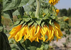 Sunflower head 2015 G1.jpg