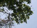 Suravrksamu (Telugu- సురవృక్షము) (4511095802).jpg