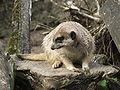 Suricata suricatta 3 (Piotr Kuczynski).jpg