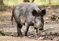 Sus scrofa -Whipsnade Zoo, Bedfordshire, England -adult female-8a.jpg