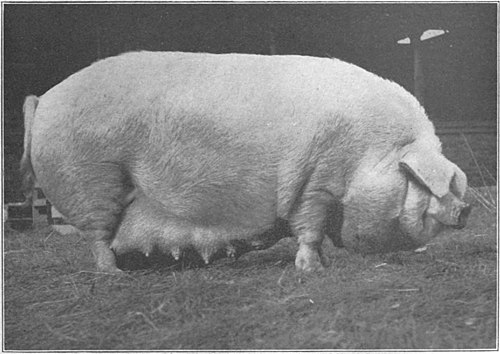 Swine a book for students and farmers - Three-year-old Chester White sow.jpg